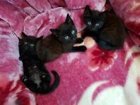 Kittens for sale in Birmingham
