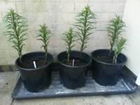 Tree lilies (Grow upto 2.5 meters)