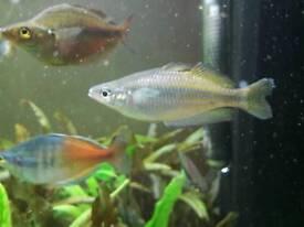Various rainbowfish for sale