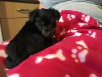 READY NOW!! 3 Gorgeous Yorkshire Terrier Puppies Looking For Loving Homes x
