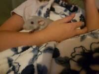 Baby boy rats 10 weeks old