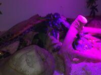 2 Corn Snakes | vivarium included