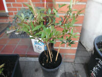 Two Sarcococca hookeriana var. digyna Hardy Shrubs