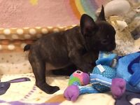 Chocolate brindle french bulldog for sale.