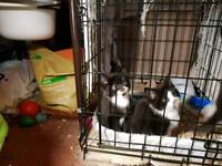 2 gorgeous cheeky kittens for sale