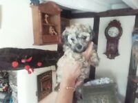 5 Bichon Frise x Chihuahua Puppies Rare Chichons