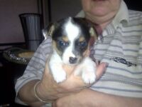 5 Chorkie puppies 2 girls & 3 boys £500 will be mircochipped & 1st inoculation we have both mum&dad