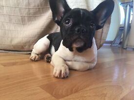 Black & white French Bulldog - 4 months old - Ready now