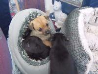 adorable patti-chi pups