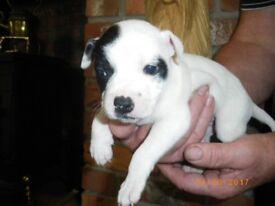 Staffie Staffordshire bull terrier puppies - white