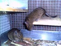 Two older degus with custom made cage and accessories