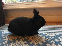 Black Rabbit for Sale