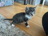 Cute polydactyl Kittens **** one female left ***