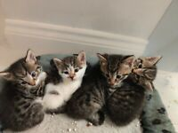 White and tabby tame kittens, 3 girls 1 boy