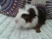 gorgeous baby guinea pig