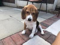 Toby the Beagle