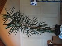 Large Yucca Plant over 12 feet tall