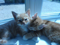 2 Ginger kittens females for sale