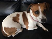 Jack Russell 2 years old