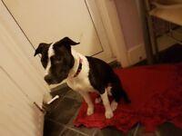 Staffordshire bull terrier, femal, Harrow London