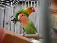 Pair of love birds plus cage