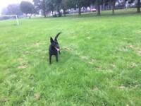 16 Month old female dog ALL BLACK (German Shephard x Collie/Whippet)