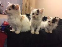 Fluffy kittens for sale All flead and wormed eating food and litter trained very playful
