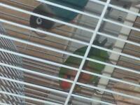 2 love birds 4 sale