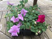 Busy Lizzie (Impatiens) plants 6 pack 10cm high