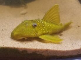 Green Pleco Galaxy L200