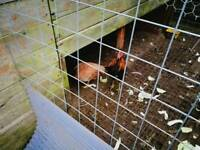 14 mixed breed chickens for sale