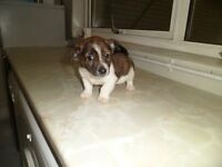 jack russell pups short legged, micro chipped,