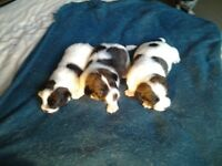Minture jack russell pups