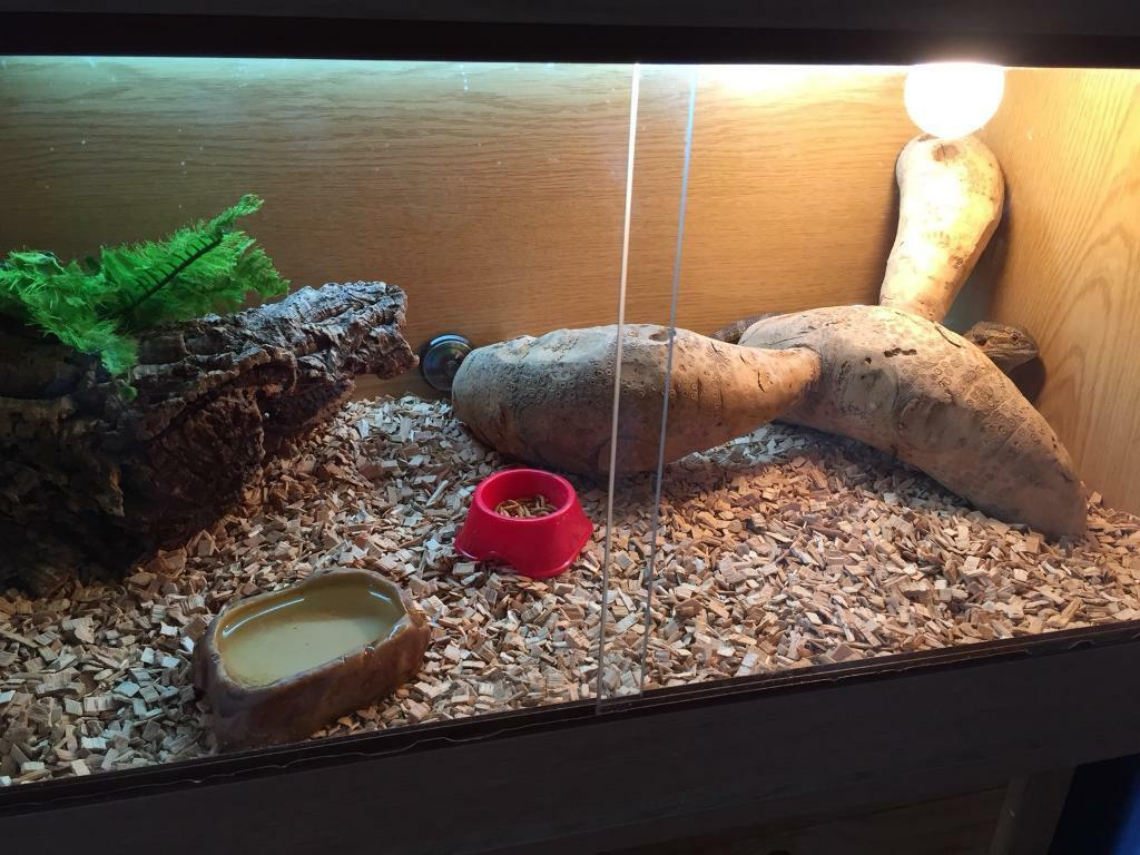 Bearded dragon and tank and accessories
