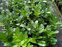 Baby Laurel evergreen hedging Top Quality. Ready to plant now free delivery subject to min order