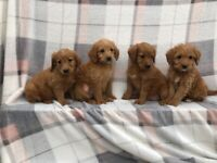F1 miniature Labradoodle puppies still available