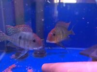 3 off geophagus red head tapajos (please read add discription)