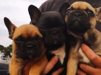 Female French Bulldog puppies