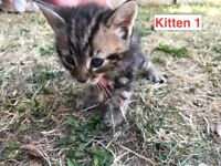 4 beautiful Tabby kittens! 8 weeks old and ready today!!
