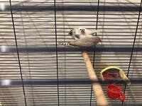 3x lovely zebra finches some singing only £10 the lot