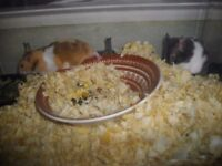 baby syrian hamsters ready to go £5 each