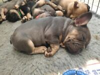 Kc registered top quality french bulldogs