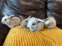 Baby lopped eared rabbits