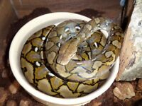 Male Super Dwarf Reticulated Python