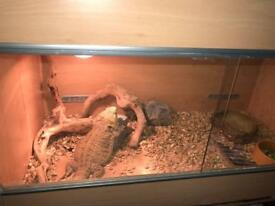 Bearded dragon and enclosure
