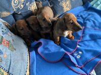 Smooth Haired Dachshund Pups