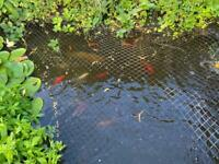 Mixture of Koi and Goldfish for sale