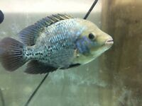 Female kamfa flowerhorn fish tank