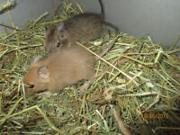 Color degus - for sale