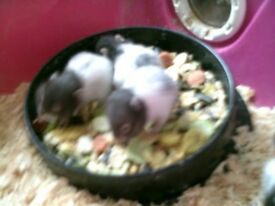 baby hamsters syrian £5.00 each